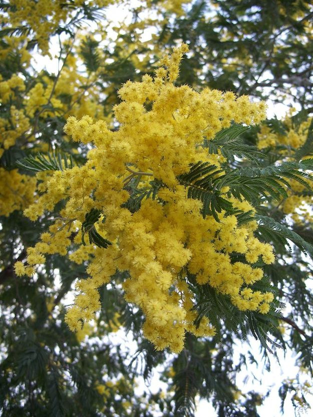 Silver Wattle. Traditional IWD gift.  Credit: http://en.wikipedia.org/wiki/File:Acacia_dealbata-1.jpg  AND Eugene Zelenko.