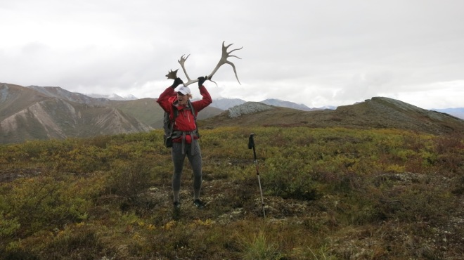 caribou, antlers, caribou shed, gates of the arctic national park